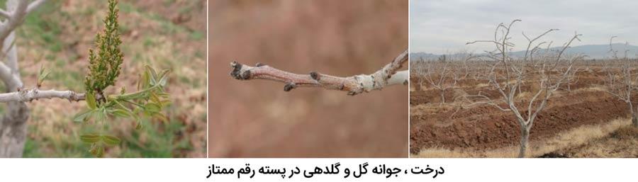 شکل درخت و جوانه گل و نحوه گل دهی در پسته رقم ممتاز که از مهم ترین ارقام پسته ایران می باشد
