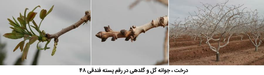 شکل درخت و جوانه گل و گلدهی در پسته رقم فندقی 48 از مهم ترین ارقام پسته ایران