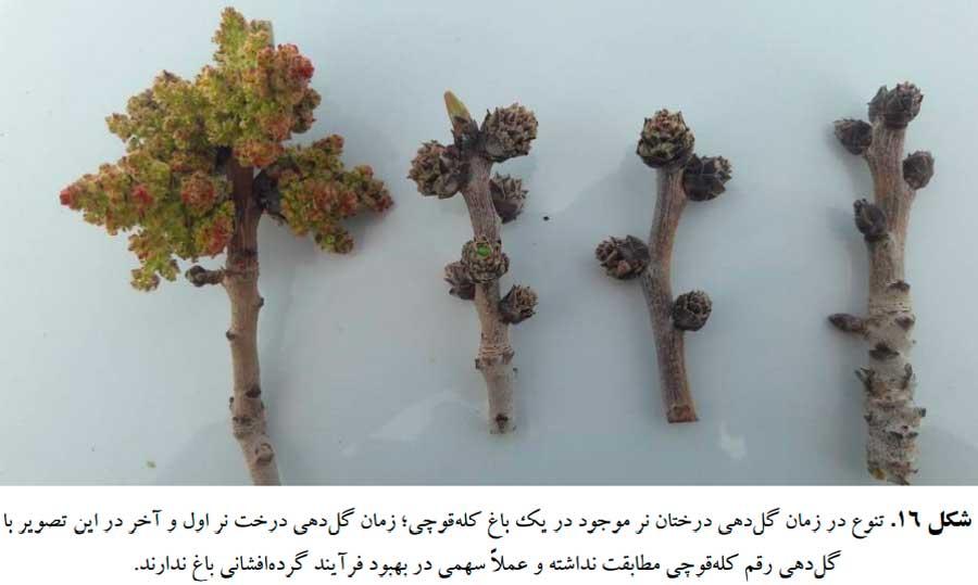 تنوع در زمان گلدهی درختان نر پسته موجود در یک باغ