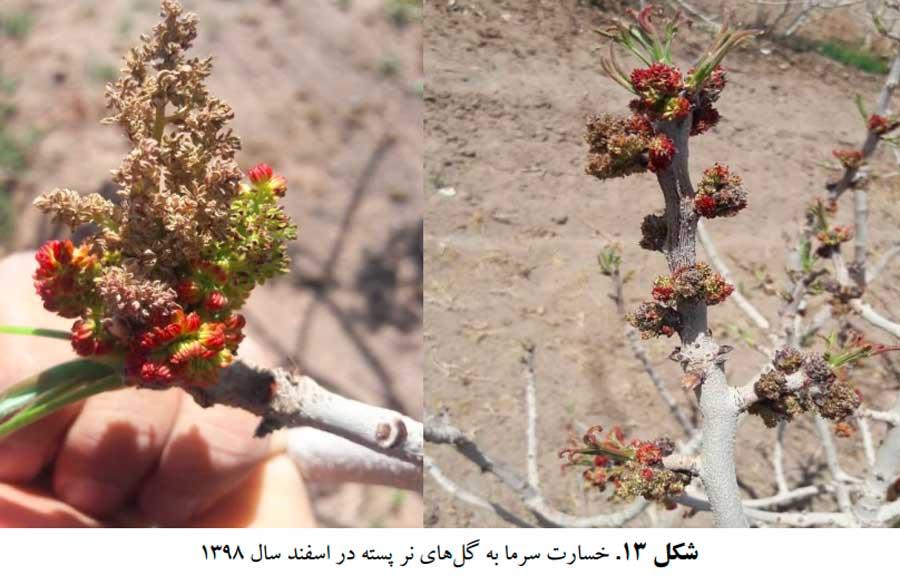 علایم خسارت سرما به گلهای درختان نر پسته
