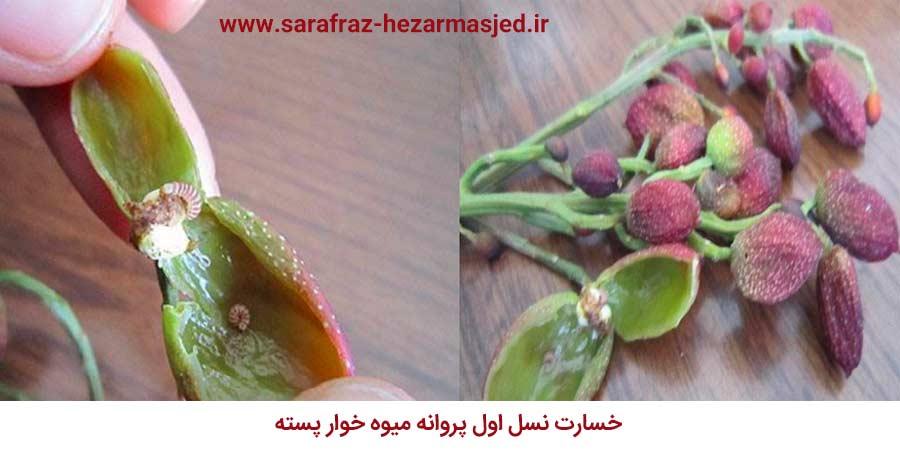 خسارت نسل اول پروانه میوه خوار پسته (Recurvaria pistaciicola)