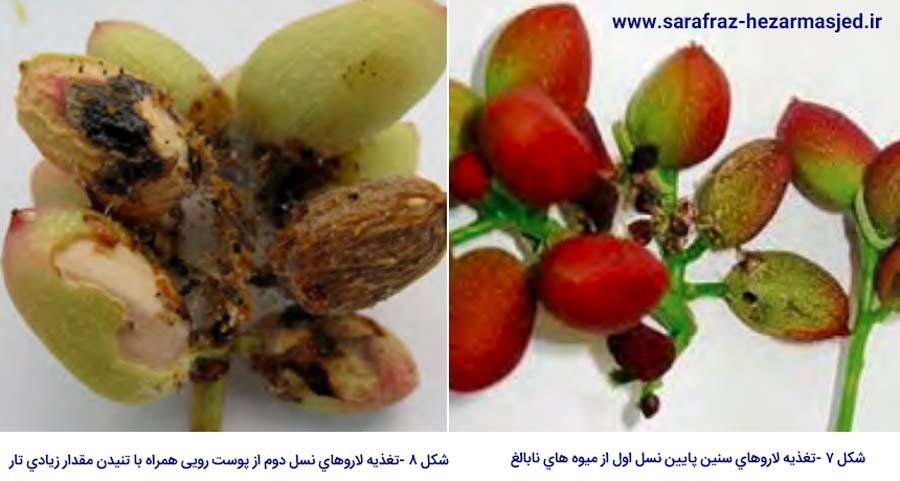 علایم خسارت شب پره پوست خوار میوه پسته رو میوه