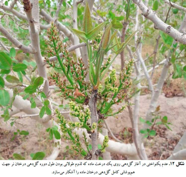 عدم یکنواختی در آغاز گلدهی روی یک درخت ماده که لزوم طولانی بودن طول دوره گلدهی درختان نر پسته جهت همپوشانی کامل گلدهی درختان ماده را آشکار میسازد.