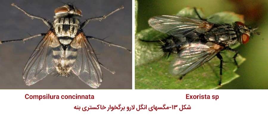 مگس های خانواده Tachinidae پارازیت کننده های آفت پروانه برگخوار خاکستری پسته