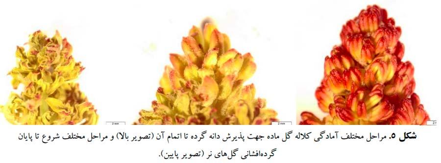 مراحل مختلف شروع تا پایان گرده افشانی گلهای نر پسته