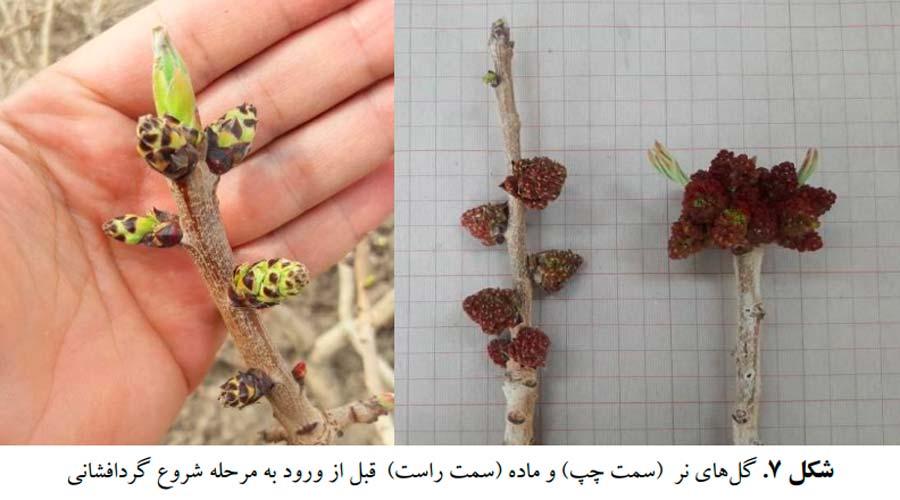 .گلهای درختان نر پسته (سمت چپ) و ماده (سمت راست) قبل از ورود به مرحله شروع گرده افشانی