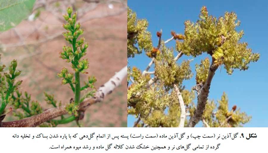 شکل گل آذین ماده و گل آذین نر درختان نر پسته پس از اتمام گرده افشانی