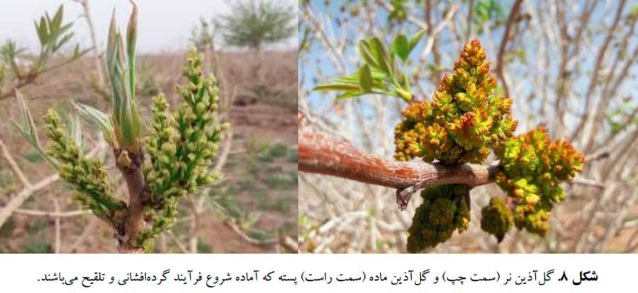 گل آذین نر در درختان نر پسته و گل آذین ماده در درختان ماده پسته
