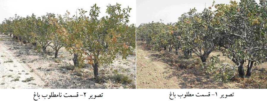 مقایسه دو قسمت مطلوب ونامطلوب باغ پسته ناشی از خصوصیات خاک باغ پسته متفاوت در آن ها