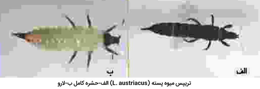 تریپس میوه پسته (Liothrips austriacus)