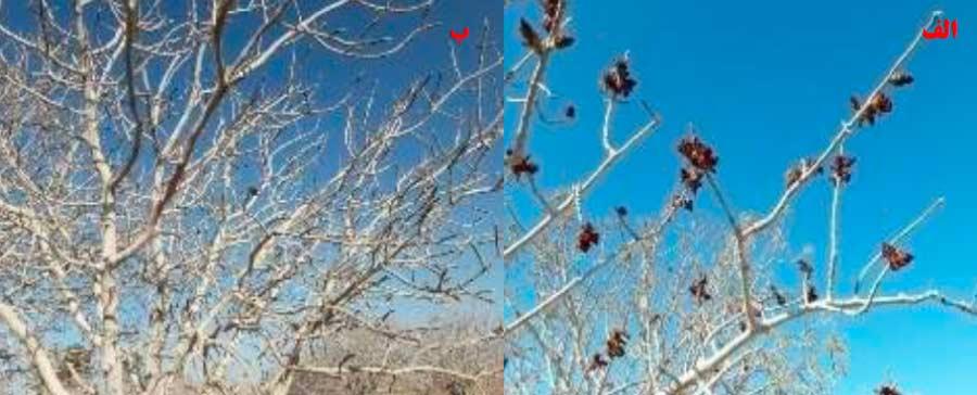 پیامدهای عدم تأمین نیاز سرمایی پسته در گونه های مختلف جنس پسته که موجب اخلال در فرآیند گل انگیزی و گل آوری گردیده است. الف - اینتگریمای نر زودگل، ب - بنه نر دیرگل