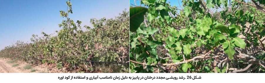 رشد رویشی مجدد درختان در پاییز به دلیل زمان نامناسب آبیاری و استفاده از کود اوره و تکمیل نشدن نیاز سرمایی پسته