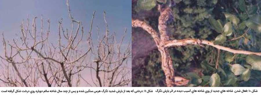 رشد شاخه های جدید پس از خسارت تگرگ با هرس سنگین