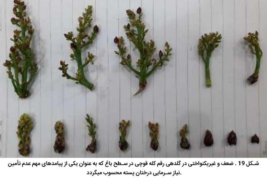 ضعف و غیریکنواختی در گلدهی رقم کله قوچی در سطح باغ که به عنوان یکی از پیامدهای مهم عدم تأمین نیاز سرمایی درختان پسته محسوب میگردد
