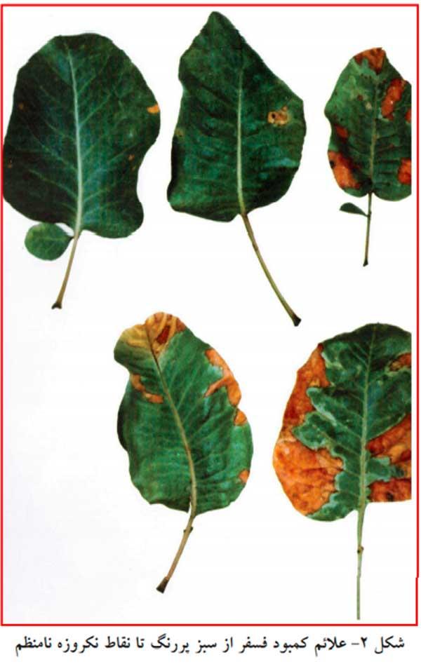 شناخت علائم کمبود فسفر در پسته جهت محاسبه نیاز کود پایه باغات پسته