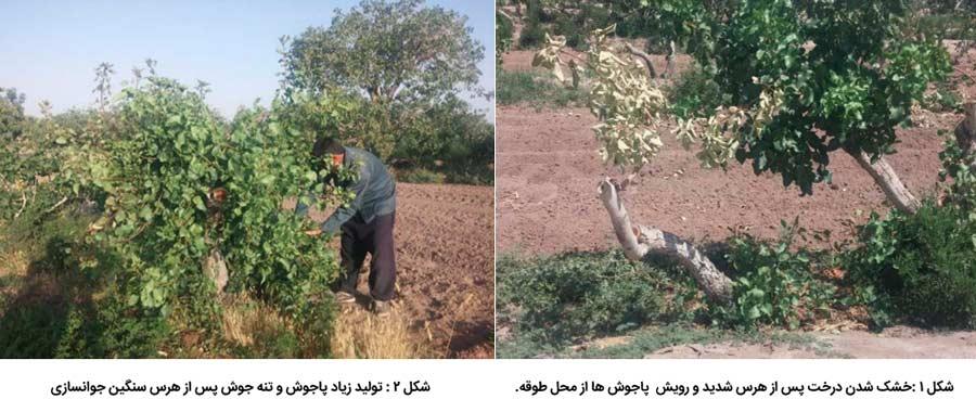 خشک شدن درخت پسته پس از هرس شدید و ایجاد تنه جوش و پاجوش زیاد