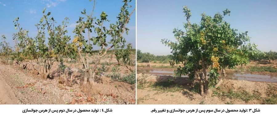 تولید محصول پس از هرس جوان سازی درختان پسته