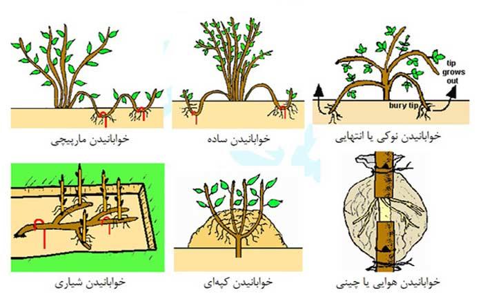 روش خوابانیدن به منظور ازدیاد درخت پسته
