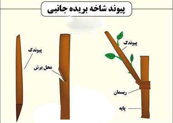 ازدیاد درخت پسته با روش پیوند جانبی