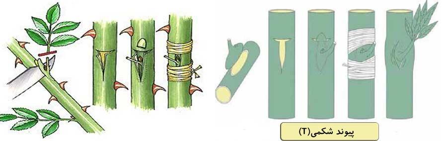 روش انجام پیوند شکمی تی شکل جهت ازدیاد درخت پسته