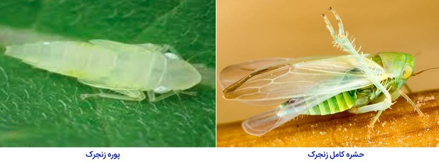 زنجره کنجد (Sesame leafhopper)