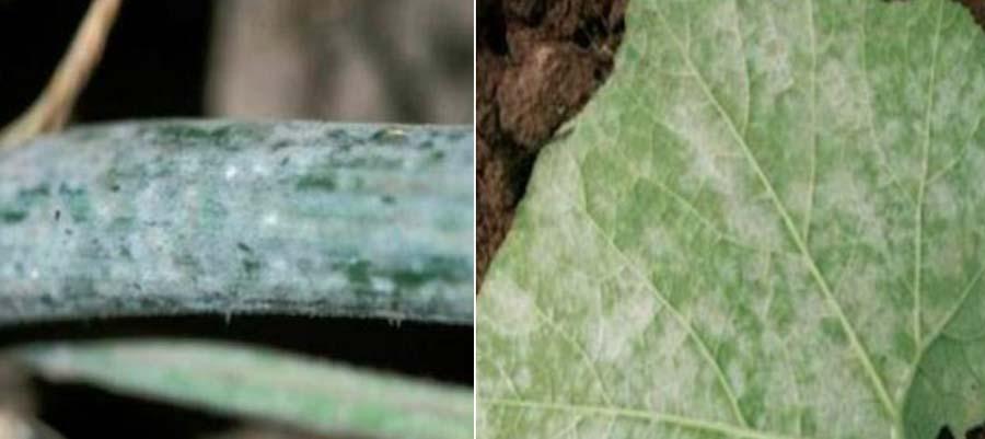 نشانه های بیماری سفیدک حقیقی جالیز یا سفیدک پودری خیار