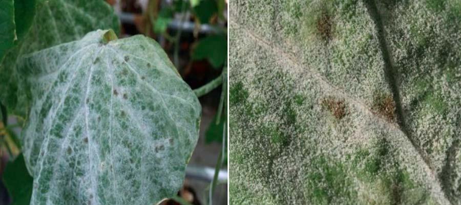 علائم بیماری سفیدک سطحی خیار یا سفیدک پودری خیار
