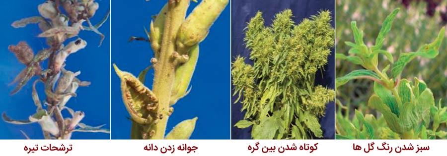 علائم بیماری گل سبز کنجد یا فیلودی کنجد