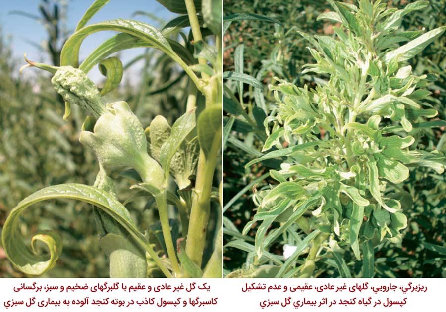 گل های غیر عادی و عقیم در اثر ابتلا به بیماری گل سبز کنجد