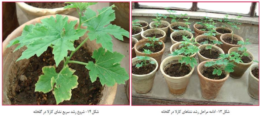 رشد سریع گیاه کارلا (Momordica charantia) یا خیار تلخه در گلخانه