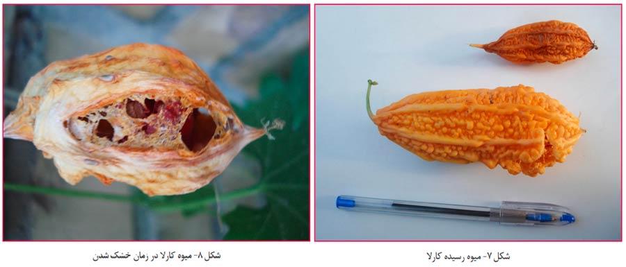 میوه نارنجی و رسیده گیاه کارلا